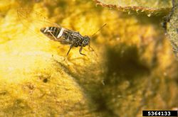 Potato psyllid.jpg