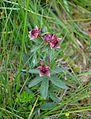 Potentilla palustris La Bresse.jpg