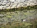Praha, Střešovice, Na Malovance, nový rybník, kachny 01.jpg