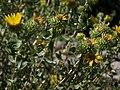 Prairie gumweed, Grindelia squarrosa var. serrulata (16152823399).jpg
