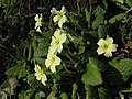 Primroses on a sunny bank - geograph.org.uk - 377216.jpg