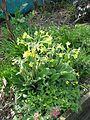 Primula veris x elatior from Kevin Hughes (26520858696).jpg