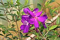 Princess flower (Tibouchina semidecandra)princess flower (39964736011).jpg