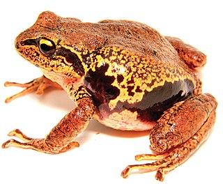 <i>Pristimantis pycnodermis</i> species of amphibian