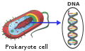 Prokaryote DNA-en.svg
