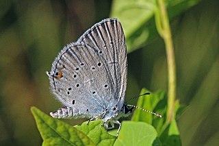 <i>Cupido alcetas</i> Species of butterfly