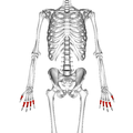 Proximal phalanges of the hand 01 palmar view.png