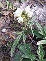 Prunella laciniata sl22.jpg