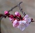 Prunus armeniaca 'Moorpark'.jpg
