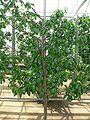 Prunus persica var nucipersica lafayette 2.jpg