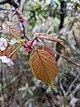 Prunus transarisanensis 65927234.jpg