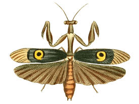Pseudocreobotra ocellata.png