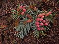 Pseudotsuga menziesii pollen cones Squak Mountain WA.jpg