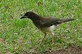 Psilorhinus morio, a juvenile Brown Jay (8987074101).jpg