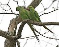 Psittacula krameri (pair) -Assam -India-8.jpg