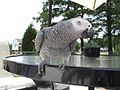 Psittacus erithacus -perching on garden table-8.jpg