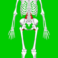 Psoas major muscle09.png