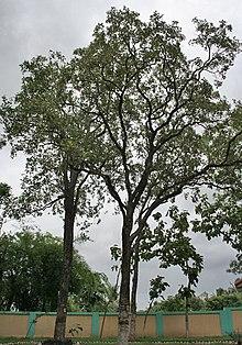 Pterocarpus santalinus - Wikipedia