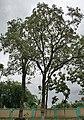 Pterocarpus santalinus in Talakona forest, AP W IMG 8145.jpg