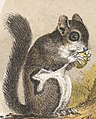 Pteromys or Flying Squirrels in art detail, from- Flying or Night Squirrel (Boston Public Library) (cropped).jpg