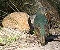 Ptilonorhynchus violaceus -Victoria, Australia -female-8.jpg