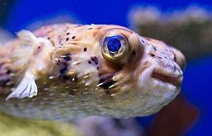 Aquarium of the Americas - Image: Pufferfish at the Audubon Aquarium of the Americas