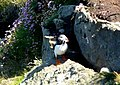 Puffin at Dunnet Head - geograph.org.uk - 873179.jpg
