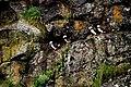 Puffins clowning around - panoramio.jpg