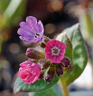 Doctrine of signatures - Lungwort was thought to have the signature of the lungs and was used to treat lung infections.