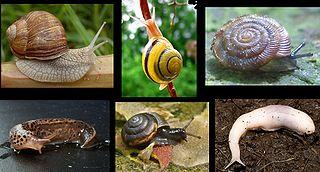 Pulmonata Informal group of gastropods
