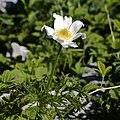 Pulsatilla alpina-4520 - Flickr - Ragnhild & Neil Crawford.jpg
