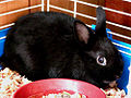 Pure-black Netherland Dwarf rabbit.jpg