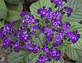 Purple (4907331497).jpg