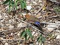 Purple Grenadir. Hen. Uraeginthus ianthinogaster - Flickr - gailhampshire.jpg