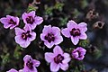 Purple Saxifrage - Saxifraga oppositifolia - panoramio (6).jpg
