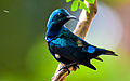 Purple Sunbird (Cinnyris asiaticus) - Tirunelveli.jpg
