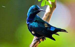 Sunbird - Purple sunbird (Asian), Tirunelveli, India