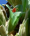 Puya chilensis 7.jpg