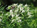 Pycnanthemum cf. tenuifolium (9554437170).jpg