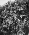Queensland State Archives 1175 Tropical Vegetation near Curtis Falls Tamborine Mountain South Queensland January 1931.png