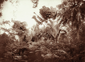 Queensland State Archives 2277 Palms and ferns at Fern Island Botanic Gardens 1897.png