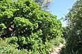 Quercus coccifera patrite.jpg