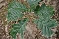 Quercus petraea (8411717367).jpg