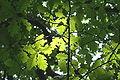 Quercus petraea JPG1c.jpg