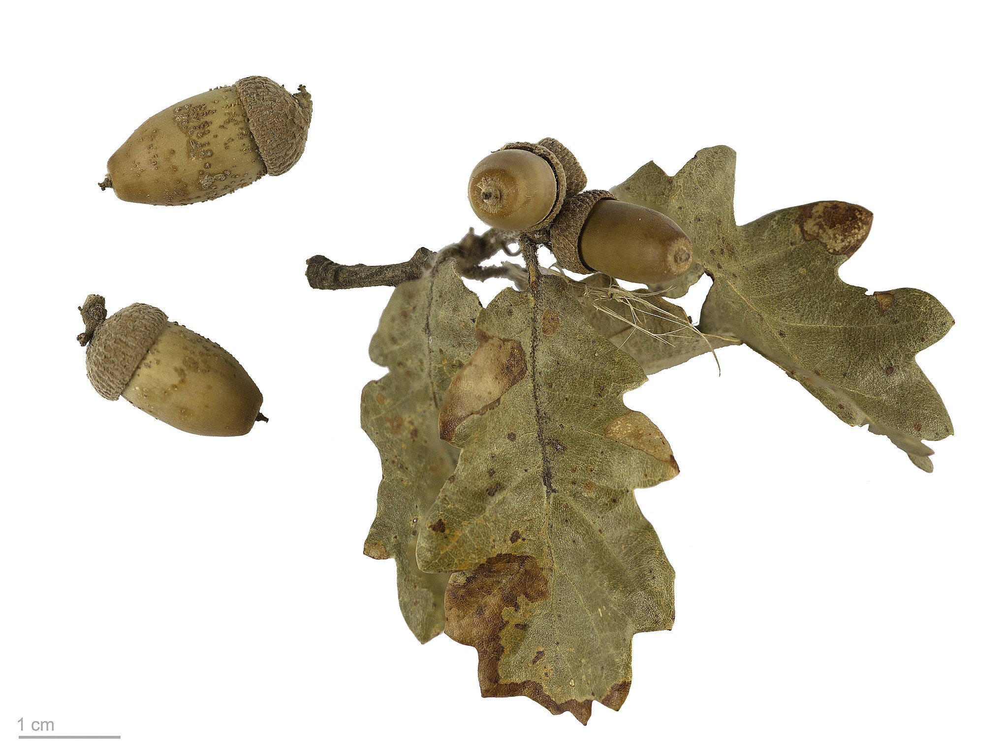 Quercus pubescens MHNT.BOT.2007.43.65