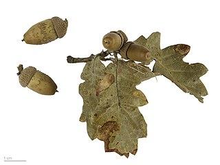 Dub plstnatý - suché listy a žalude