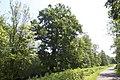 Quercus robur (Chêne pédonculé).jpg