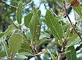 Quercus thracica2.JPG