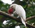 RTV White cockatoo6 - Flickr - Lip Kee.jpg
