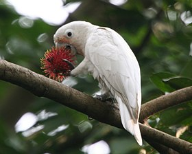 RTV White cockatoo6 - Flickr - Lip Kee.jpg